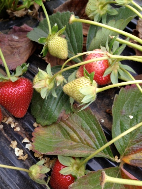 Staycation- Local Strawberry picking at GizdichRanch