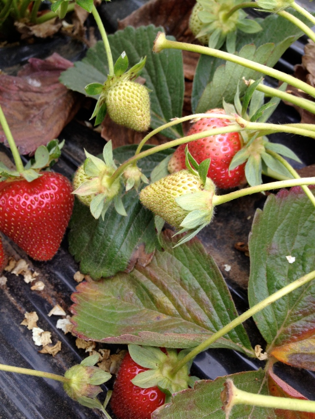 strawberries from last weekend at gizdich ranch